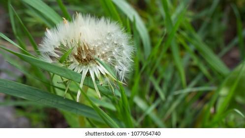 Dandelion at springtime