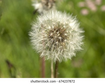 Dandelion. Summer dandelion fluff. Macro flower on blur green background.