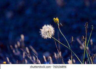 Dandelion in the Sunlight