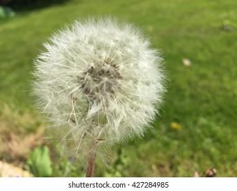 Dandelion in the sunshine
