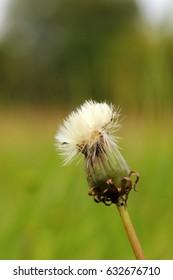 Dandelion ( Taraxacum )