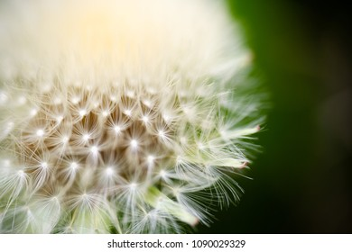 Dandelion, Taraxacum, flower head with connected seeds super extreme macro. Full frame opaque backgrounds. Horizontal low angle perspective with shallow depth of field crop