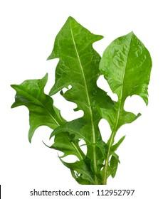 Dandelion ( taraxacum ) leaves isolated on white background