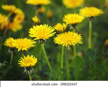 Dandelion, Taraxacum officinale, in flower.