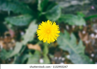 Dandelion (Taraxacum officinale) flower closeup
