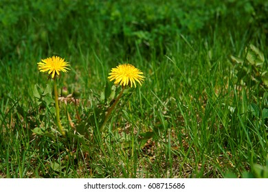 Dandelion (Taraxacum officinale), flowers in the meadow as background, spring. A dandelion flower head composed of hundreds of smaller florets