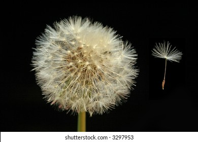 Dandelion (Taraxacum officinale) seed head and seed floating in the wind