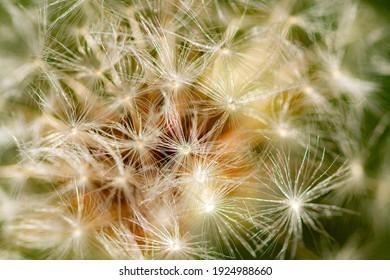 Dandelion (Taraxacum sect. Ruderalia) Pusteblume Detail