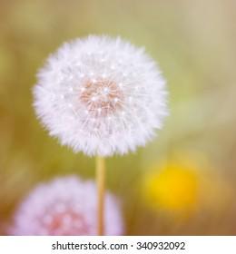 dandelion in vintage color tone