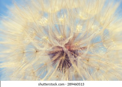 Dandelion vintage nature background closeup.Special toned photo in retro style