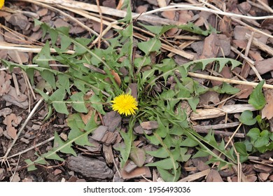A dandelion weed (Taraxacum officinale) with a rosette of green leaves and a bright yellow blossom basks in spring sunshine.
