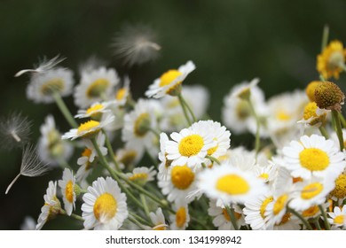 dandelion and white daisies