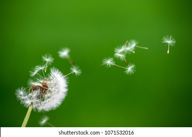 Dandelion wind blow