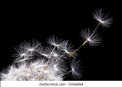 Dandelion in the wind, isolated on black background.