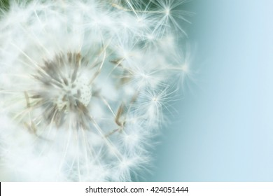 dandelion in the wind, macro