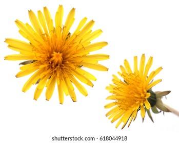 Dandelion / yellow flower