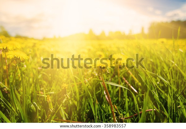 Dandelion yellow flowers growing on the meadow in spring time on the green grass with sun rays