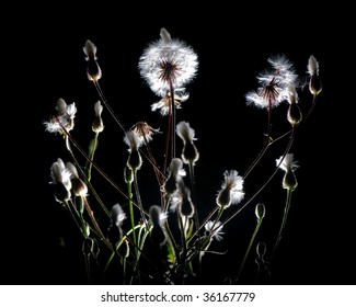 Dandelions backlighted in the night