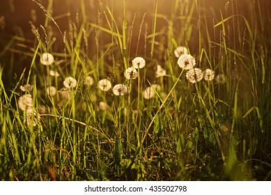 Dandelions backlit