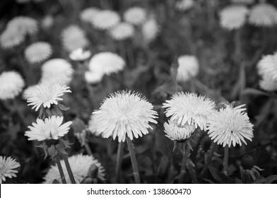 dandelions, black-and-white photo