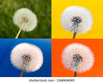 Dandelions Blowballs with four color background. Withered dandelion in spring. Blowball with blue, orange, yellow and green background made by colored dustbins.