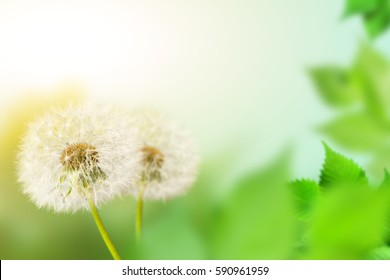 Dandelions and branches on defocused background (the depth of field is ultra shallow)