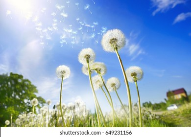 Lot of dandelions close-up on nature in spring against backdrop of summer house and blue sky. The wind blows away seeds of dandelions, template for summer vacations on nature