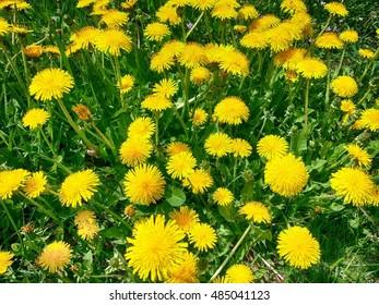 Dandelions in Czech Republic