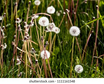 Dandelions - differential focus