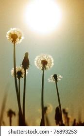 Dandelions at dusk against the sunlight