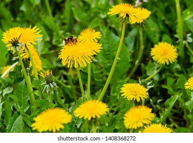 Dandelions field. Nature background. Bee on flower. Yellow dandelions with seeds on green lawn.
