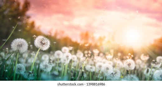 Dandelions With Flying Seeds In Field At Sunset