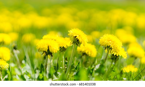 Dandelions grass field with blurred bokeh background