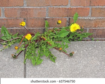 Dandelions growing in a sidewalk