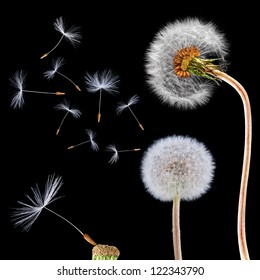 Dandelions isolated on the black background with flying seeds and macro of single seed
