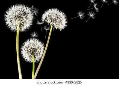 Dandelions isolated on black background
