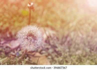 Dandelions in jungle field at sunlight background. filtered color tone