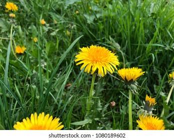 Dandelions in the lawn