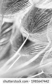 Dandelions macro photography in black and white