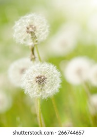 dandelions meadow at spring