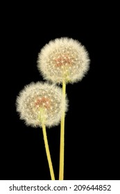 Dandelions on black background