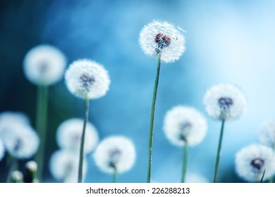 dandelions on blue background closeup