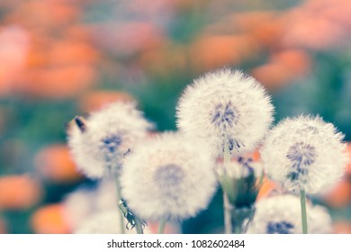 dandelions on a daisy field
