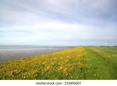 dandelions on dike, mudflat on the left, near bensersiel, germany