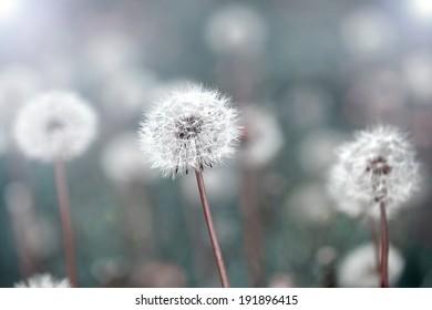 dandelions on field