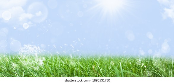 Dandelions on green grass in spring nature against the background of the summer blue sky. Banner or template for summer outdoor recreation