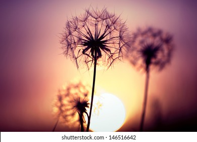 Dandelions on the meadow during sunset