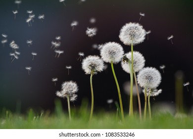 Dandelions on the spring meadow