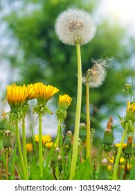dandelions on a spring meadow of green grass and other plants.