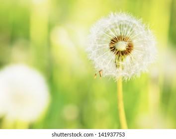 dandelions on a summer solar meadow